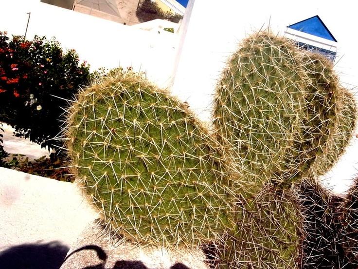 Cactus's Luv ?! — at Hersonissos Palace, Crete, Greek Island.
