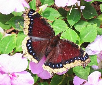 Mourning Cloak ~~ Long-lived Mourning Cloak butterflies look a bit like swallowtails but emerge in early spring. The adults feed from a variety of sources, from the nectar of fruit trees to tree sap, rotting fruit, and even animal droppings. The caterpillars are likely to feed on trees such as elm and willow.    Thanks to BHGNaturesGarden.com visitor degravesb for sharing this great photo.