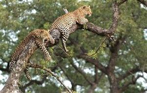 Our Leopard Safari to Simbamili and Londolozi Game Reserves