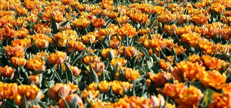 Tulipanowe szaleństwo w ogrodzie botanicznym. Fot. radio RMF FM