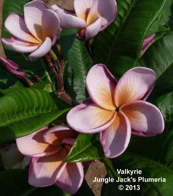 25 Best Plumeria Frangipani Images On Pinterest
