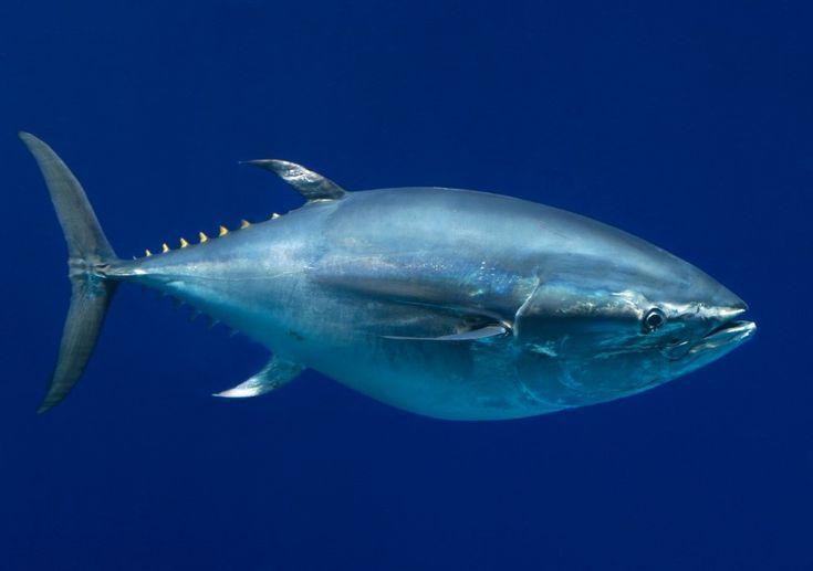 Foto: Um jovem atum azul do Pacífico, no Aquário da Baía de Monterey, Califórnia. Crédito: Randy Wilder/IUCN