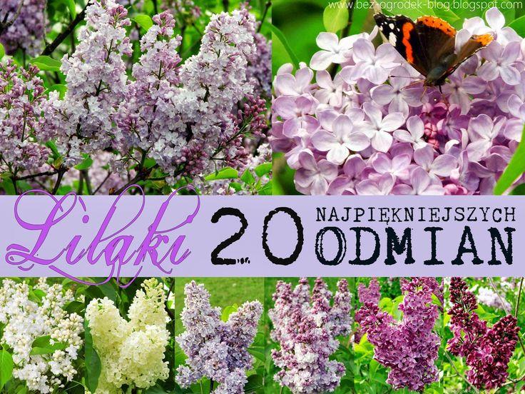 20 most beautiful lilacs   20 najpiękniejszych odmian lilaków - Syringa vulgaris