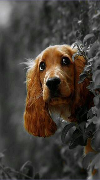 American Cocker Spaniel...ours were black!<<Mines was a light honey Brown