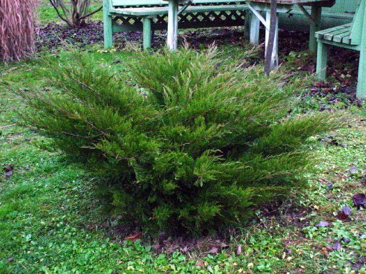 TARHAKATAJA Juniperus x Pfitzeriana 'MInt Julep'   KH Puutarhakeskus   Puutarhamyymälä   Taimet verkkokaupasta