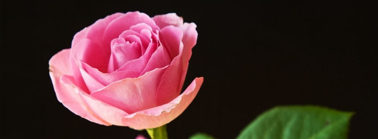 Best pink roses facebook covers | Best pink roses hd fb cover photos | Best pink roses covers for timeline profile