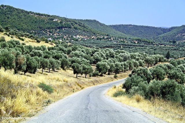 Girne'de zeytin hasadı ne zaman başlayacak?