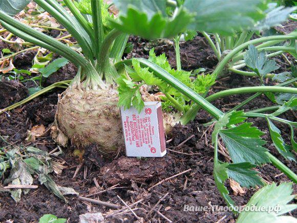 Все знают, что корневой сельдерей очень полезный, но не всем удаётся его вырастить. Расскажу, как это сделала я. В феврале я замочила семена сельдерея в горячей воде 60° (налила в полиэтиленовую крыш…