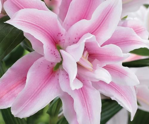Lilium Oriental Lily Double Flowering Rose Lily