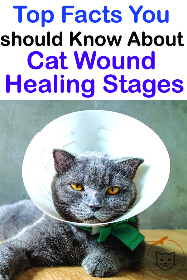 Top Facts You should Know About Cat Wound Healing Stages