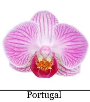 Orchidee Phalaenopsis Portugal