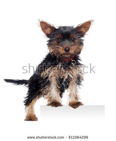 Yorkshire Terrier puppy standing on blank board