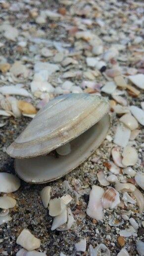 Shells on papampa beach