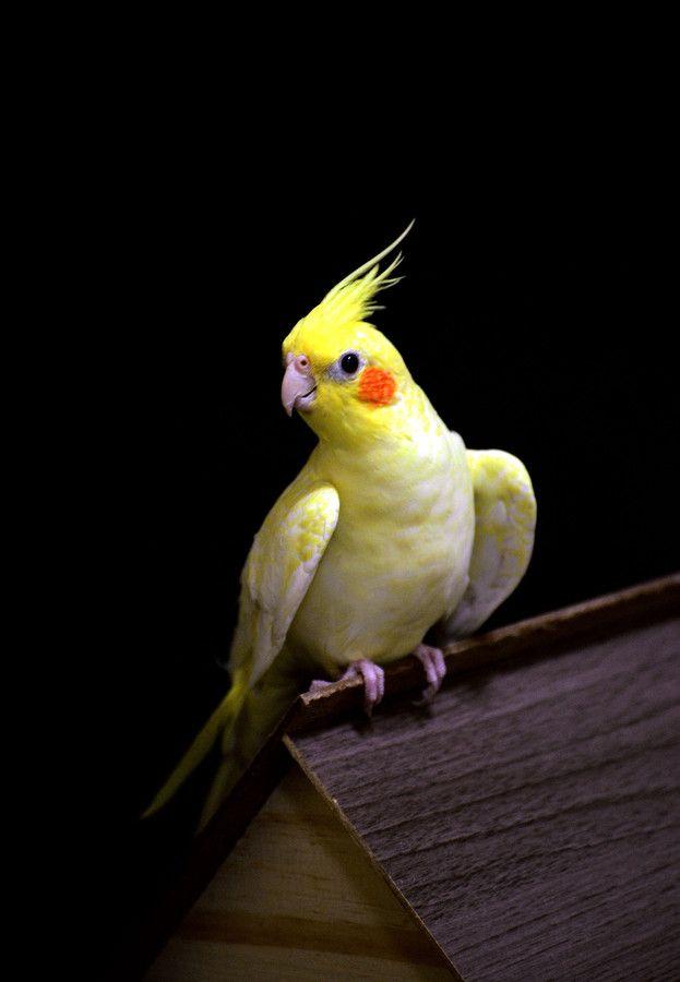 Les 807 meilleures images du tableau calopsittes for Cocktail perroquet