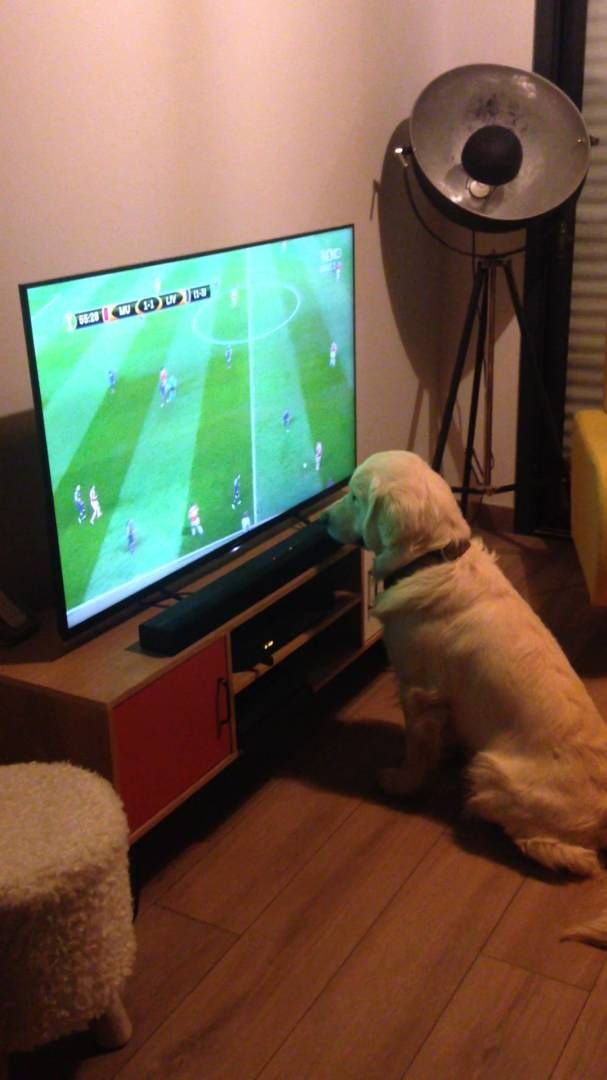 Golden Retriever likes watching soccer on TV