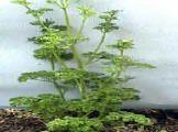 Geef peterselie geen zonnebad, hij groeit liever in halfschaduw. Een humusrijke en vooral vochthoudende, frisse grond is belangrijk. Plant h...