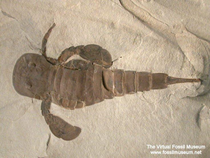 Twitter / BG_Grace: #FossilFriday #Eurypterus from ...