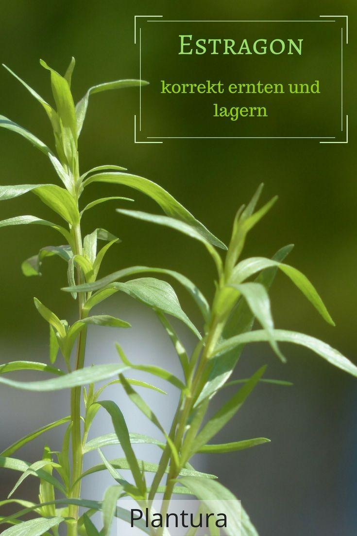 40 best mediterrane kr uter anbauen images on pinterest basilikum pflanzen gartenpflanzen und. Black Bedroom Furniture Sets. Home Design Ideas