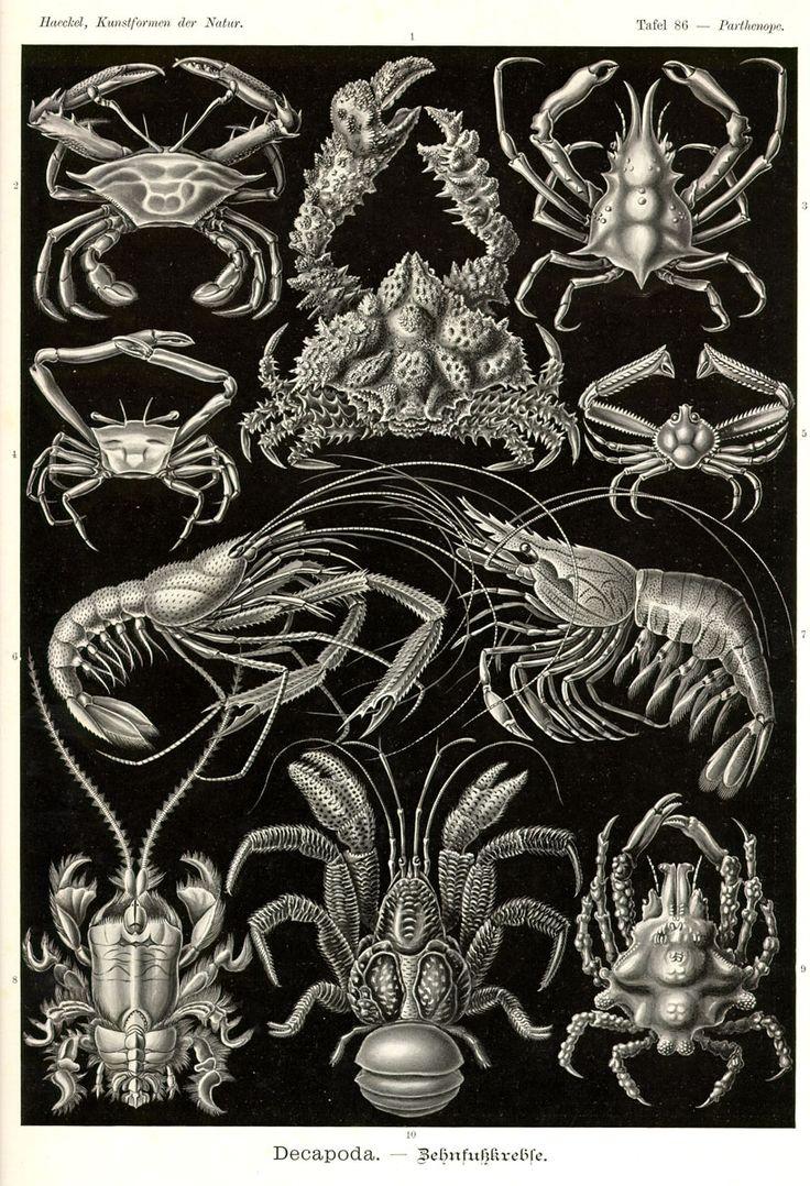 Decapoda by Ernst Haeckel; Kunstformen der Natur, 1900