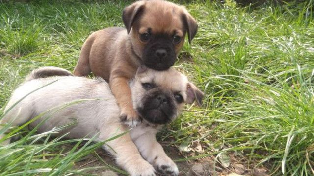 19 Strangely Cute Hybrid Pug Breeds You Never Knew Existed - Rantpets - http://www.rantpets.com/2015/09/14/15-strangely-cute-hybrid-pug-breeds-you-never-knew-existed/
