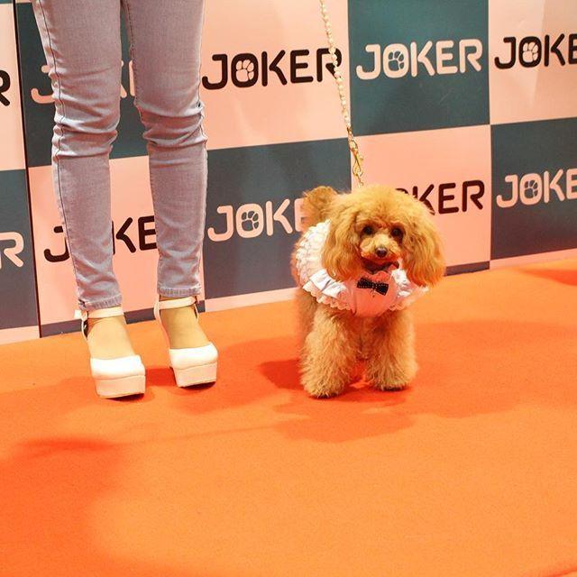今日はお台場ジョーカーズタウンで行われたファッションショーに、クレアがランウェイモデルとして出演させて頂きました クレアはグラマーイズムのモデルさん☺ LOνЁ ゜・*:.。. ♡loυё♡.。.:*・゜¨̮⑅*♡ #ティーカッププードル#トイプードル#プードル#犬 #dog #ワンコ #愛犬 #ワンコなしでは生きていけません#犬バカ#犬バカ部#teacuppoodle #toypoodle #poodle #ふわもこ部#親バカ#わんわん#doglove#doglover#cutepoodle#lovepoodle#子犬#いぬ#イヌ#Ilovemydog