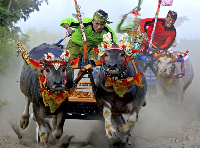 """Men competing in a buffalo race in Jembrana, Bali, on August 12, 2012. More than three hundred buffaloes ran in the """"Mekepung,"""" or buffalo race, a thanksgiving ritual after a successful harvest. (AP Photo/Firdia Lisnawati)."""