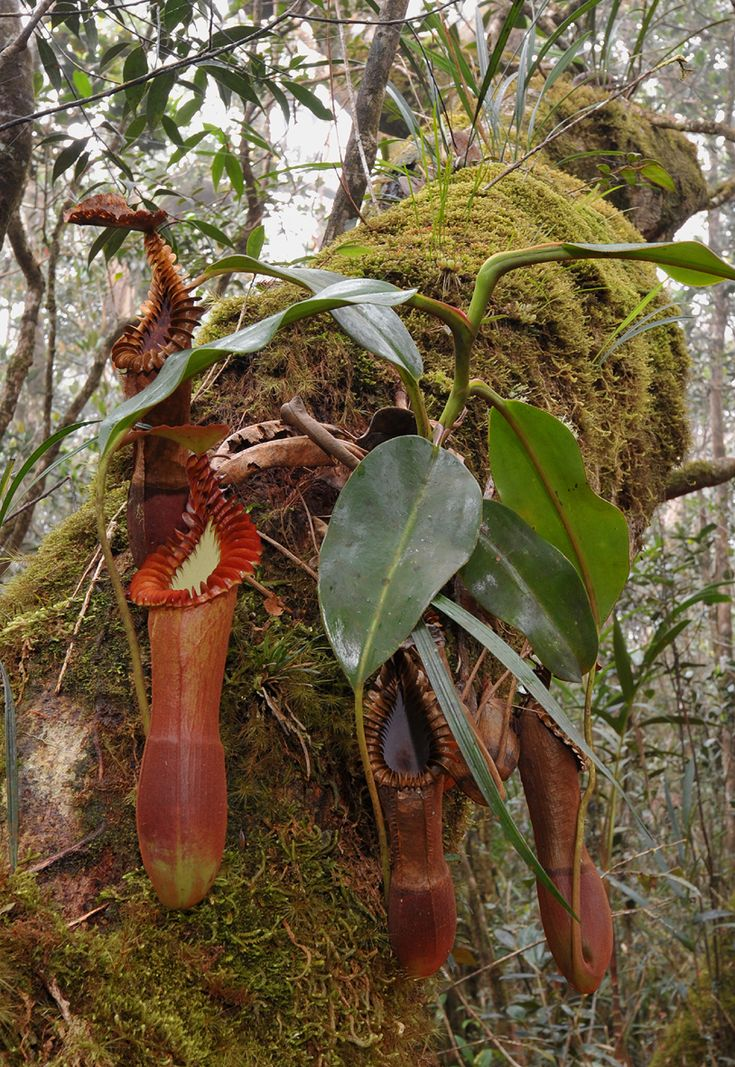 Pitcher plant - Nepenthes burbidgeae X Nepenthes lowii in the wild.