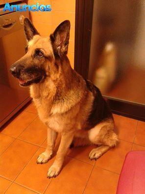 LAIKA, PRECIOSA PASTOR ALEMAN EN ADOPCIÓN - Perros grandes en Barcelona, Barcelona.