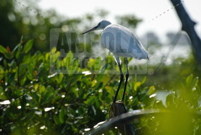A little egret poached on a branch in the mangrooves of Mussulo bay near Luanda.