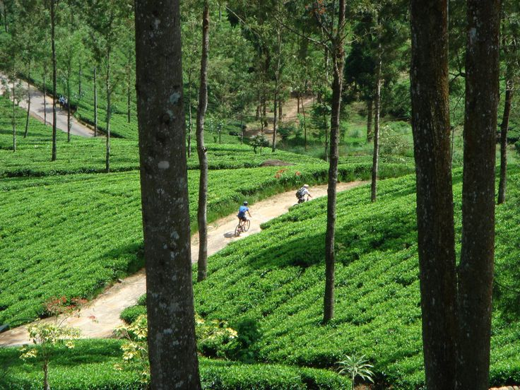 Cycling through Sri Lanka's tea fields. All in a day's work!
