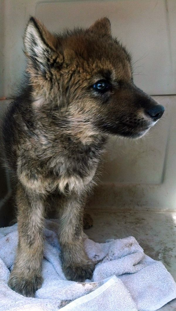 Orphaned Wolf Pup Rescued by Hikers (With images) Wolf