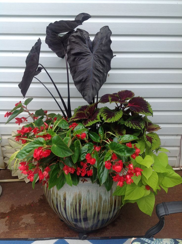 Great Container For Shade Elephant Ear Sweet Potato Vine