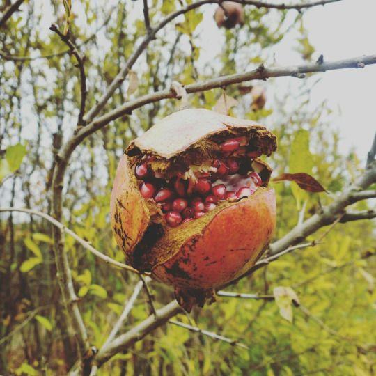 #Punica #granatum | #Melograno | #Pomegranate | #Granatapfel | #гранатовий | #granaatappel | grenade  #nursery #vivero #vivaio #boomkwekerij #pepiniere #baumschule #tasty #juicy #fruit #frutto #frucht