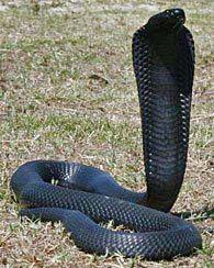 Naja nigricollis woodi (Black spitting cobra), Western Cape.