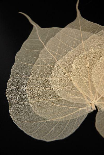 """Natural  4""""- 5.5""""  Bodhi  Tree Skeleton Transparent Leaves (10 leaves pkg) $4.99 pkg/ 3 pkgs $4.29 pkg"""