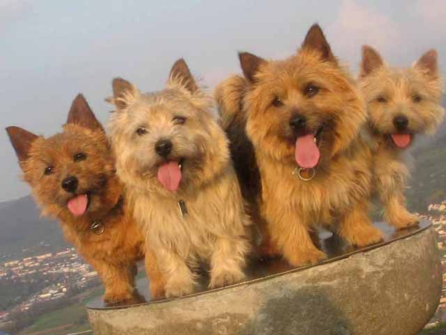 The Norwich Terrier is a breed of dog. It originates in the United Kingdom and was bred to hunt small vermin or rodents.   Appearance   The...