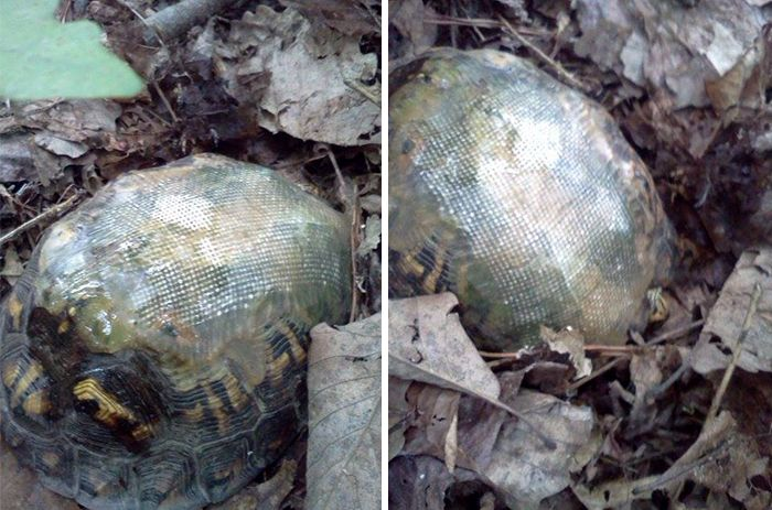 turtle-shell-repair-vet-reunited-old-patient-hocking-hills-animal-clinic-1 (1)