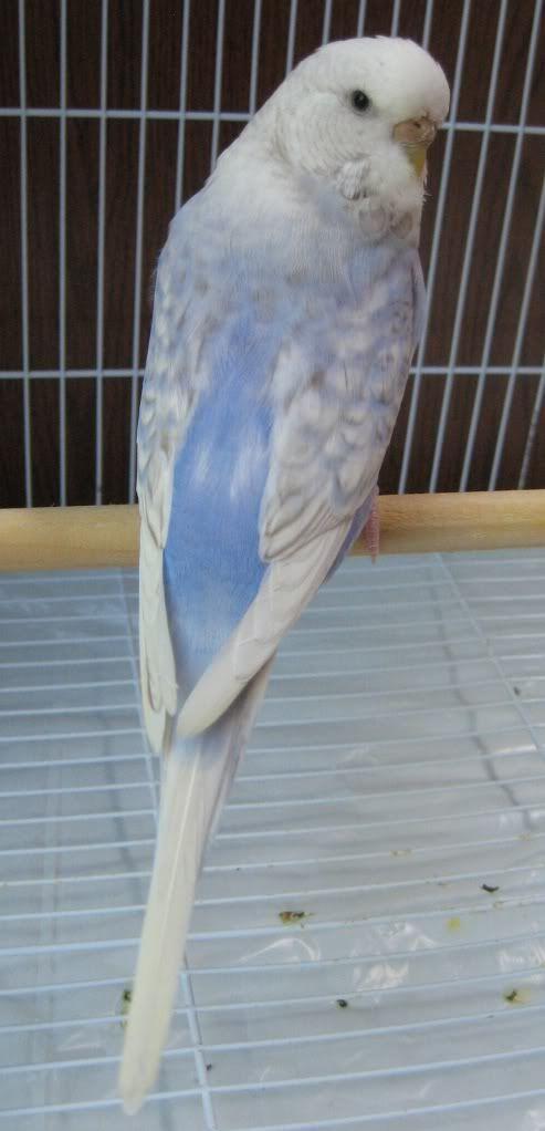 Sky blue Df violet cinnamon opaline spangle