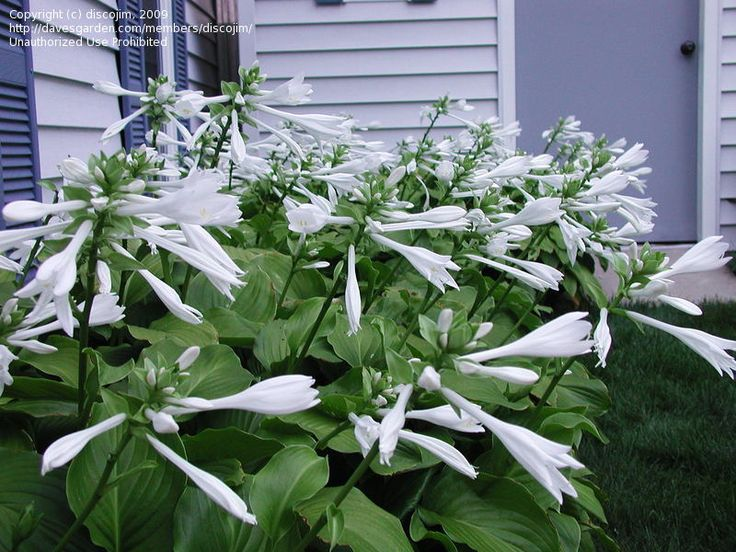 45 best am gardening hostas images on pinterest backyard ideas aphrodite hosta shade plant fragrant blooms plant along fence by kitchen mightylinksfo