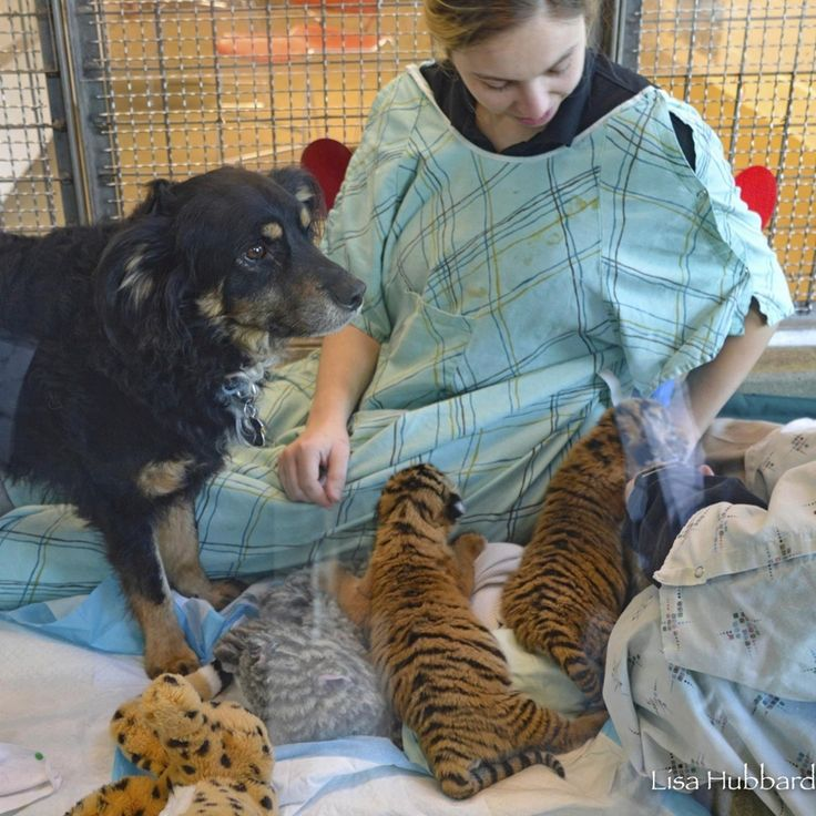 В зоопарке Цинциннати овчарка стала мамой для редких малайских тигрят « FotoRelax
