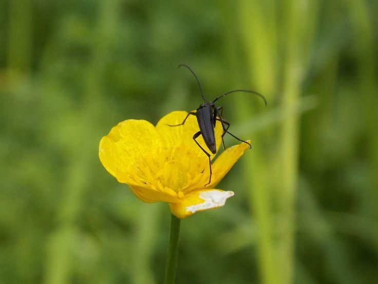 Réti boglárka/Ranunculus acris/Meadow buttercup