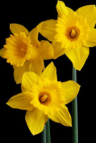 Daffodils, the national flower of Wales worn on St. David's Day, 1st March, in celebration of the Patron Saint of Wales, St. David - by mstoy, via Flickr
