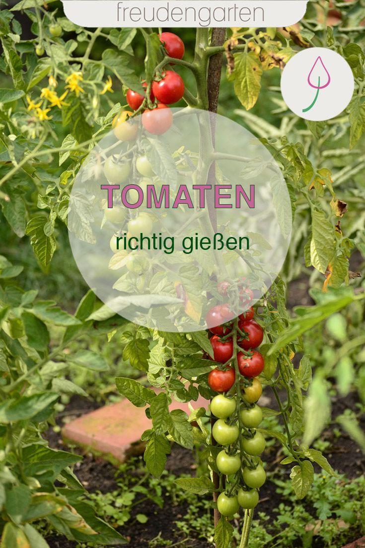 Tomaten Richtig Giessen In 2020 Pflanzen Gemusegarten Anlegen Garten Pflanzen