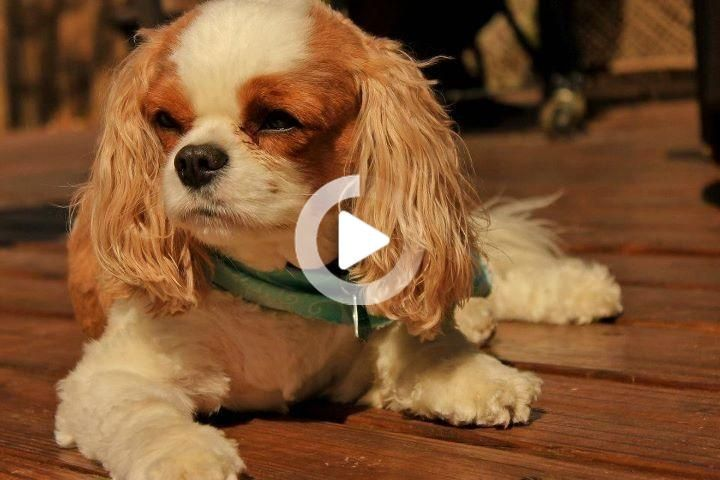 This Might Be The One King Charles Cavalier Spaniel In 2020 Cavalier King Charles Spaniel Cavalier King Charles King Charles