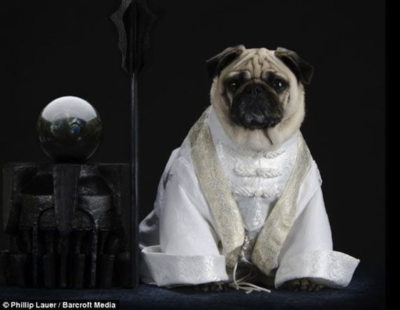 This is series of photos featuring pugs Blue, Bono and Roxy dressed up as characters from Lord of the Rings. The humans responsible for this madness is hus