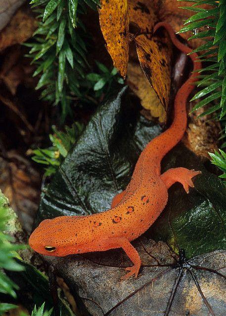 Notophthalmus viridescens, Eastern Newt red eft, Chattahoochee N.F., Rabun Co., GA