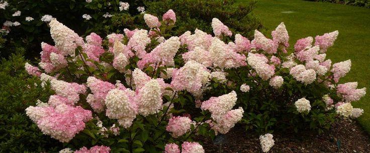 Hortensia Vanille Fraise: Deze pluimhortensia is de afgelopen jaren steeds populairder geworden. De verkleuring van wit naar roze geeft een bijzonder effect in de tuin.