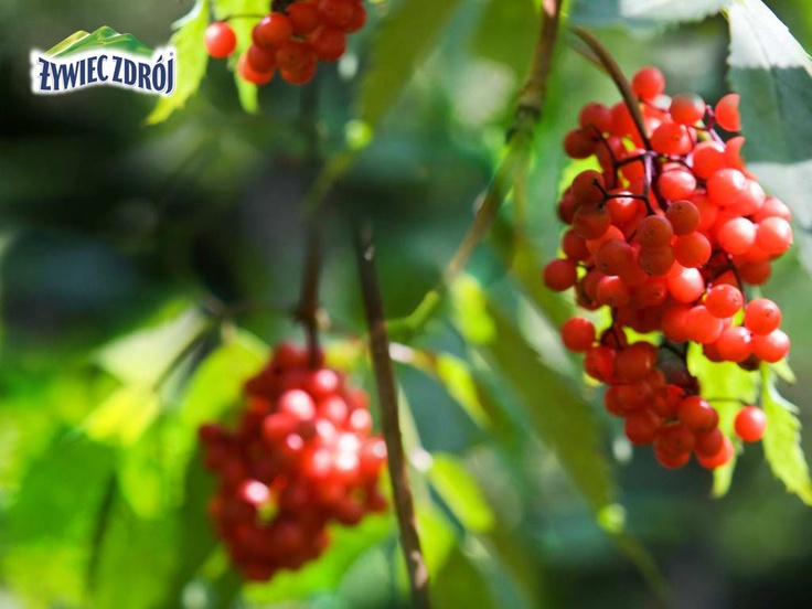 Leśne owoce z Beskidów