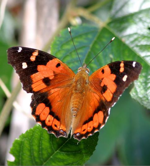 Kamehameha Butterfly (Vanessa tameamea)   εїз All Aflutter ...