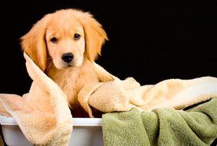 Perros hermosos e impecables! 50% Descuento por Peluquería canina, incluye: Baño + Peluquería + Cepillado + Corte de uñas + Limpieza de oídos y más.